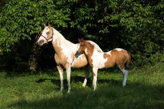 klacz i źrebak American Paint Horse