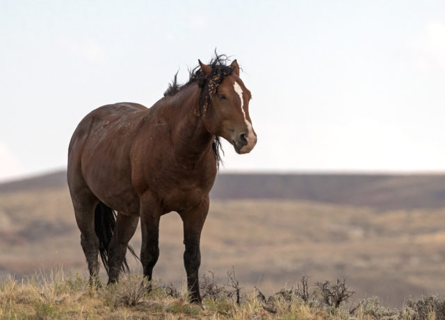 mustang koń na prerii