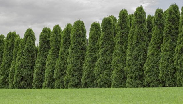 najlepsze rośliny na żywopłoty nieformowane