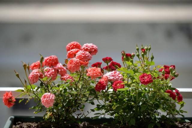 przechowywanie roślin balkonowych np róż