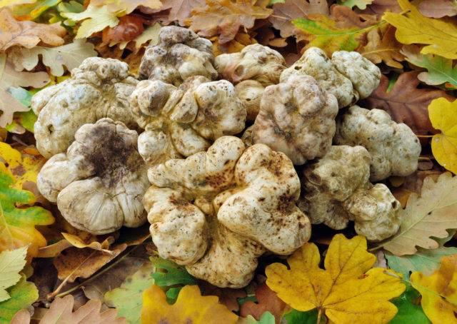 białe trufle grzyby na wiagę złota