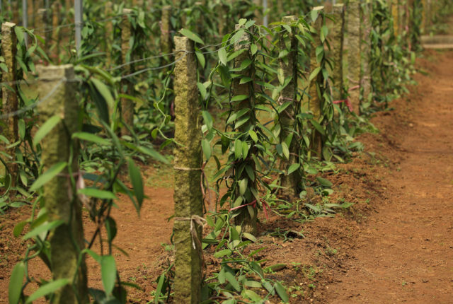 wanilia płaskolistna na plantacji
