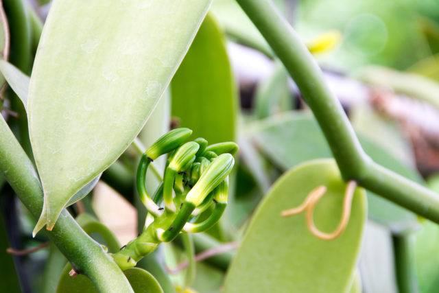 wanilia płaskolistan i jej kwiat