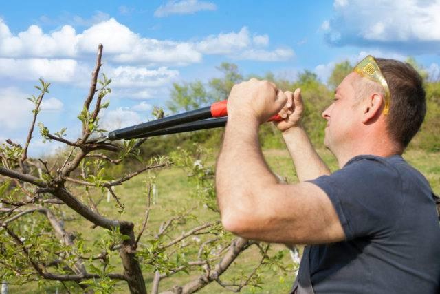 kiedy przycinać drzewa owocowe w sadzie