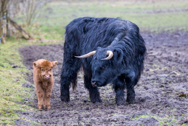 Highland Cattle krowa z cielakiem