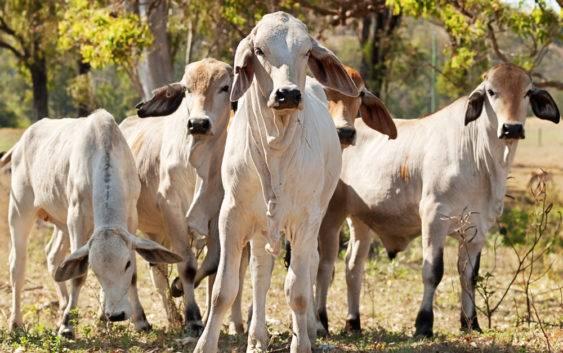 Brahman (rasa bydła)