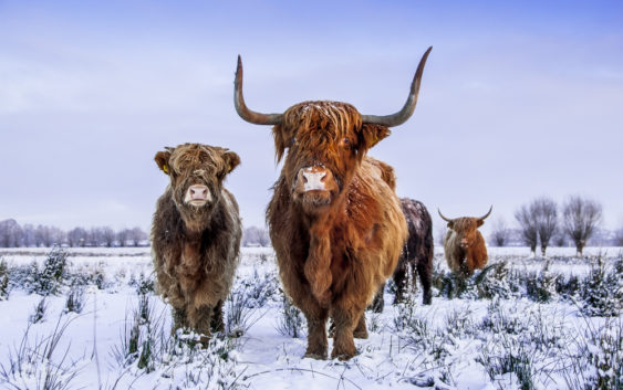 Bydło highland cattle