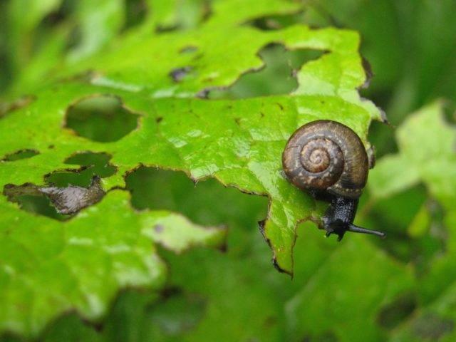 szkodniki roślin ślimaki