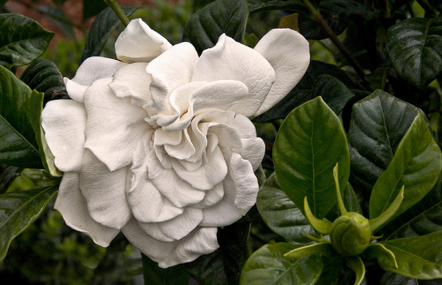 kwiaty gardenia w domu