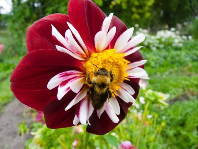 w jaki sposób owady zapylają kwiaty roślin