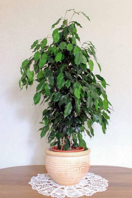 Duże Kwiaty Doniczkowe Wymagania Uprawa Dużych Roślin Doniczkowych