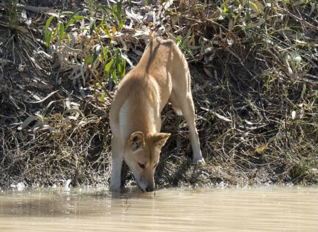 dingo australijski