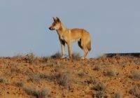 Dingo australijski (Dingo)