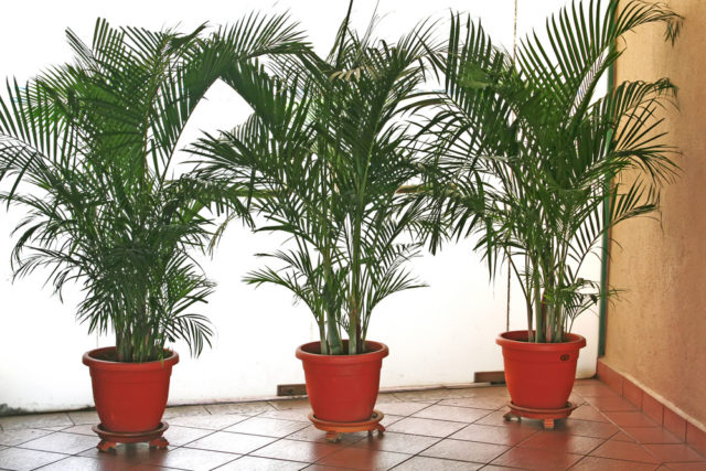 duże kwiaty doniczkowe palmy