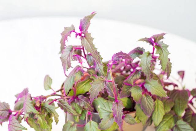 roślina doniczkowa Gynura aurantiaca