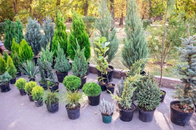 jesienne sadzenie iglaków