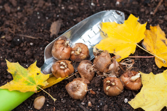 co sadzić jesienią w ogrodzie cebule kwiatowe
