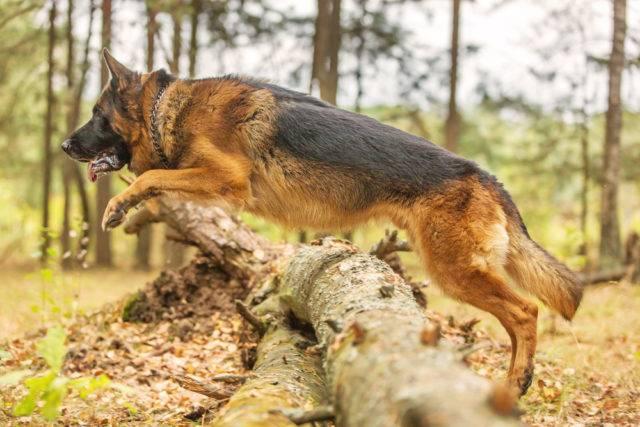 skaczący owczarek niemiecki