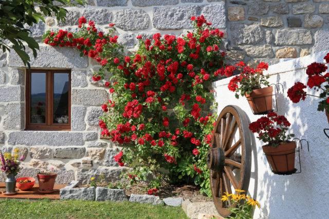 róże ogrodowe czerwone pnące