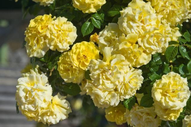 róże pnące żółte