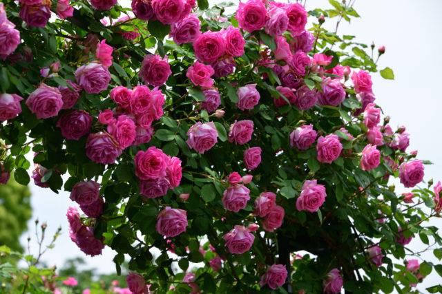 odmiany róż pnących o różowym kolorze