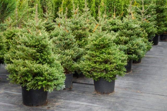 cena drzewek choinkowych