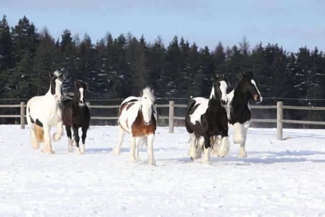 tinker koń podczas zimy