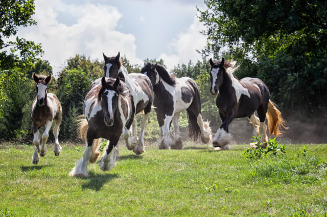 stado koni tinker