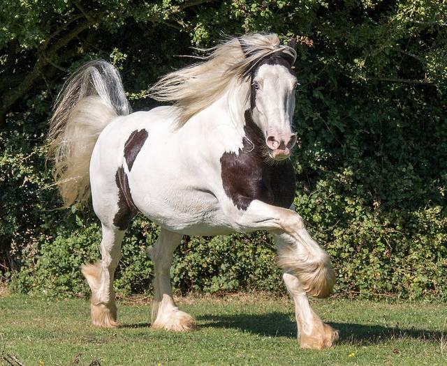 tinker koń w galopie na padoku