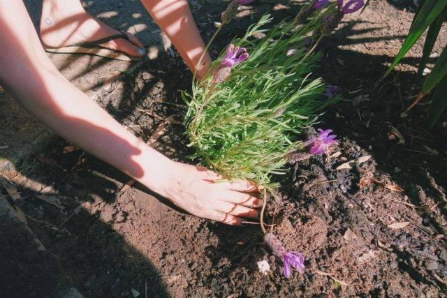 sadzenie bylin jesienią