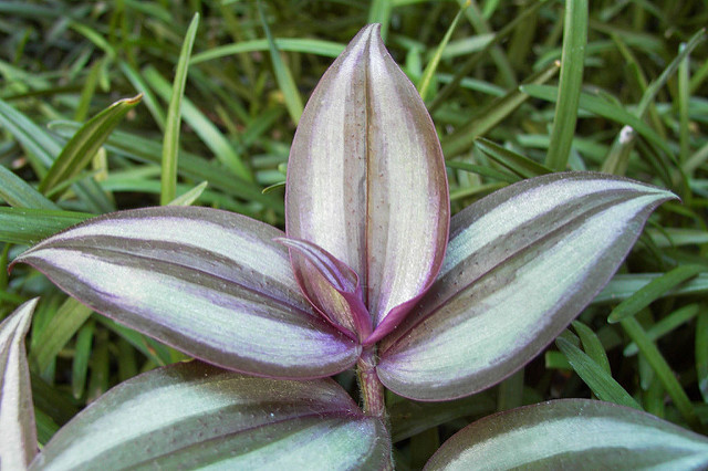 roślina trzykrotka