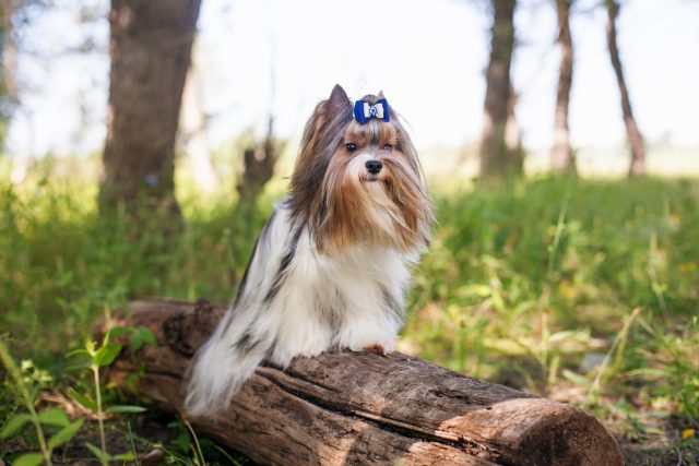 biewier yorkshire terrier rasa psa