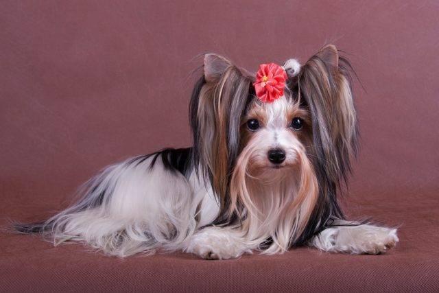 biewier yorkshire terrier opis rasy