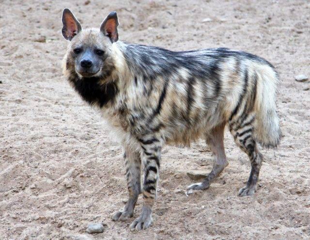 hiena pręgowana drapieżnik