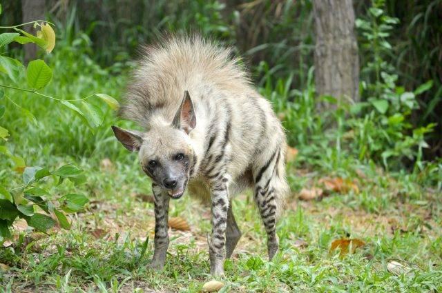 hiena pręgowana zdjęcie