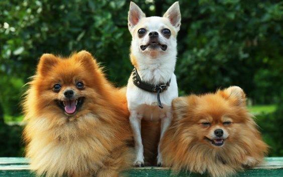 Rasy psów małych