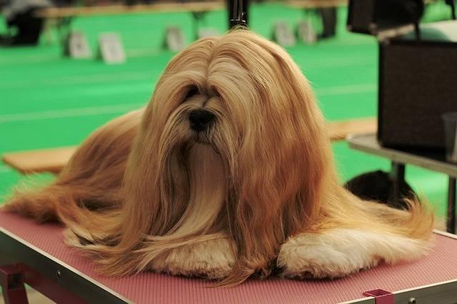 rasy małych psów lhasa apso