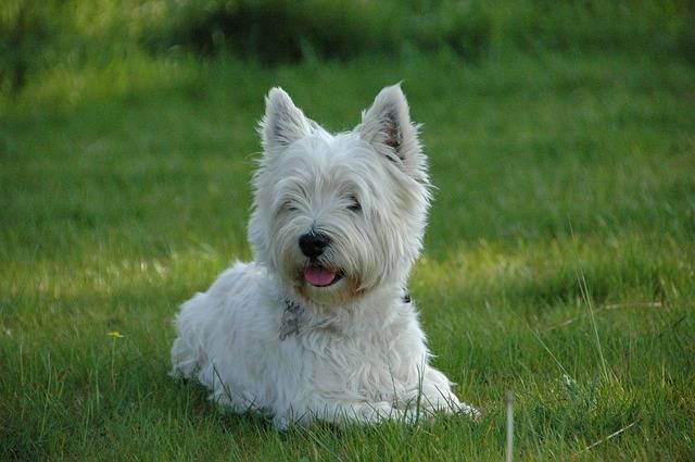 rasy małych psów west terrier