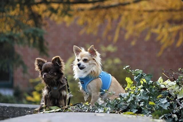 rasy psów małych chihuahua