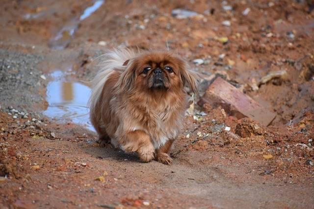 rasy psów małych pekińczyk