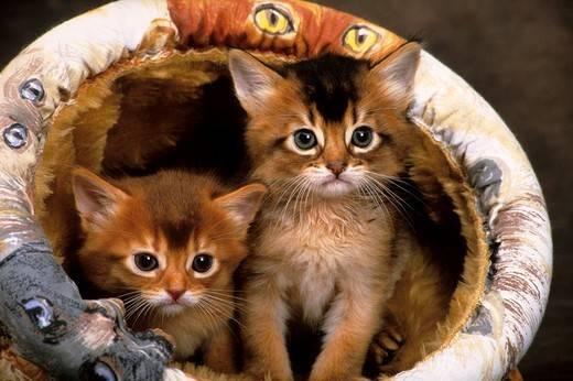kociaki koty somalijskie