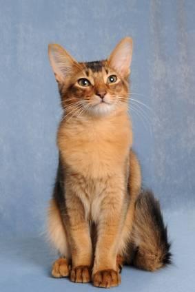 rasa kotów kot somalijski