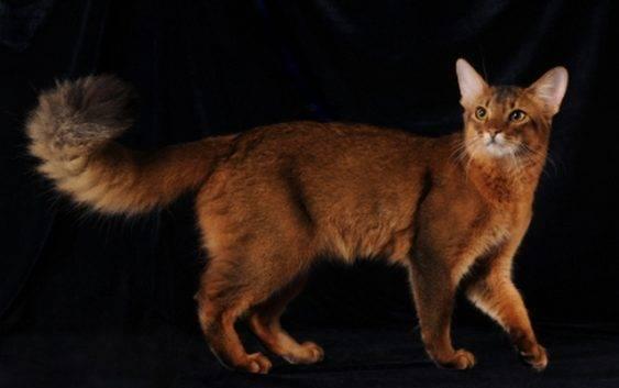 Kot Somalijski (Somali Cat Breed)