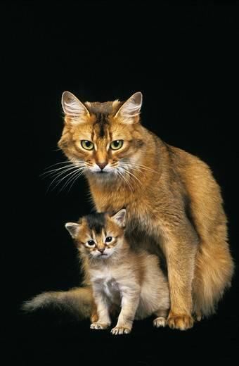 koty somalijskie
