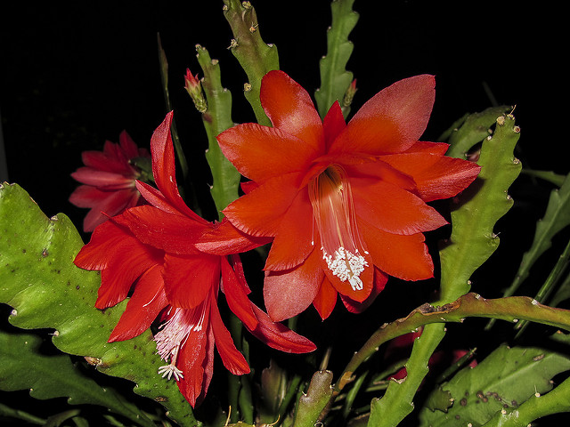 filokaktus czerwony
