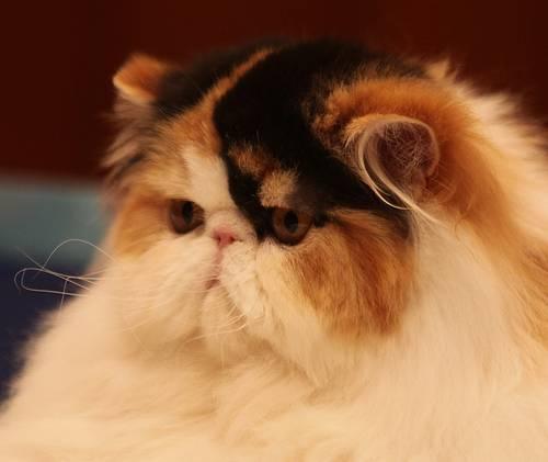 dorosły kot perski