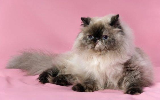 Koty perskie wszytko o nich