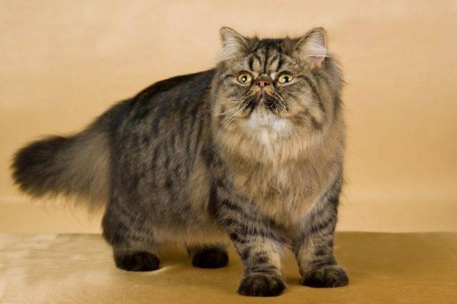 koty perskie rasy kotów