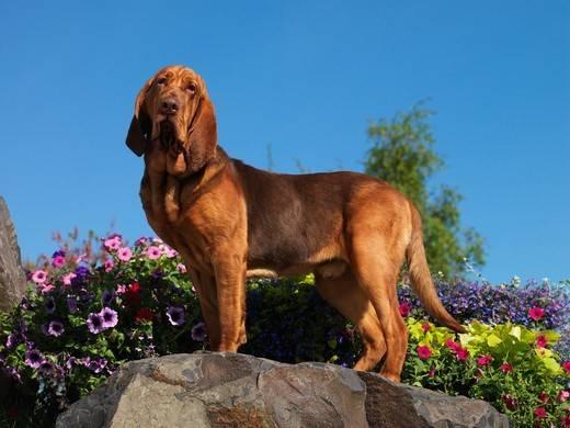 bloodhound rasa psa o najlepszym węchu