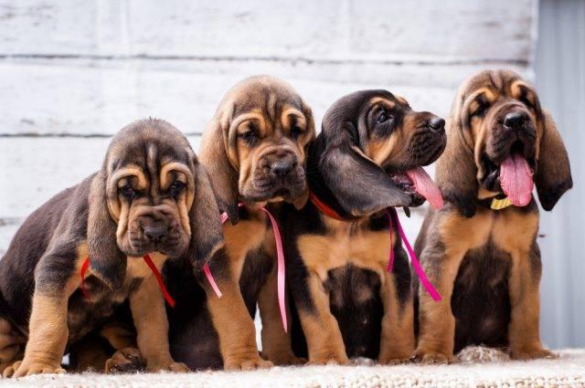szczeniaki bloodhounda